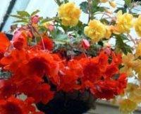 Бегония клубневая. Комнатный цветок