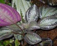 Бертолония мраморная. Комнатное растение