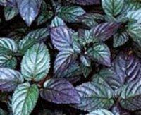 Гемиграфис. Многолетнее растение