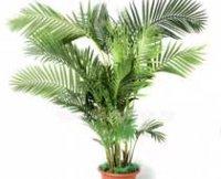 Арека катеху или Бетелевая пальма