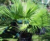 Брахея вооружённая, Эритея или Мексиканская голубая пальма