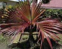 Латания Лоддигеза или Бархатная пальма