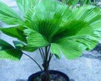 Ликуала большая или Веерная пальма