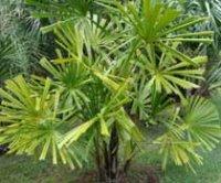 Ликуала колючая. Пальмовое растение