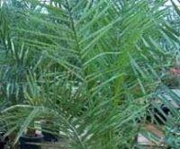 Микроцелюм Ведделя. Комнатная пальма
