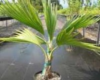 Притчардия тихоокеанская. Домашняя пальма