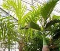 Валлихия густоцветковая. Редкая пальма