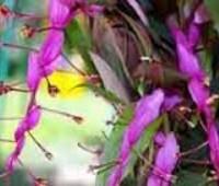 Глобба Винита - красивоцветущее растение