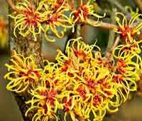 Гамамелис. Красиво цветущий кустарник