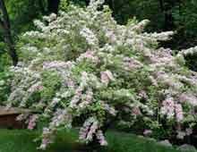 Вейгела – декоративно-цветущий кустарник