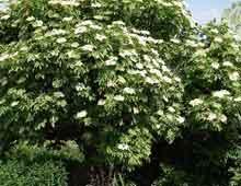 Бузина - листопадный кустарник