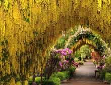 Бобовник или Золотой дождь - садовый кустарник