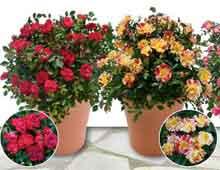 Комнатные розы уход и выращивание роз
