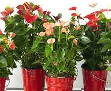 Антуриум или цветок фламинго
