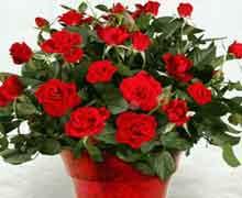 Китайская роза или гибискус уход в домашних условиях
