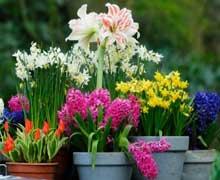 Выгонка растений