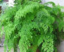 Адиантум или Волосы Венеры - уход и выращивание