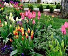 Как правильно ухаживать за тюльпанами