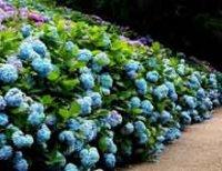 Гортензия или Гидрангея. Декоративный садовый кустарник