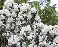 Дейция - декоративный цветущий кустарник