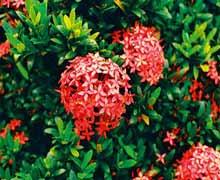 Иксора - пламя джунглей. Декоративно-цветущий цветок